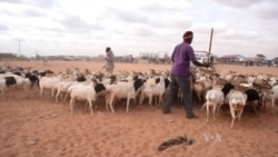 Meat for Mecca: Somaliland Exports Livestock for the Hajj