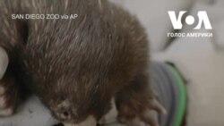В зоопарку Сан-Дієго показали маленьку єхидну, яка там народилася. Відео