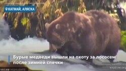 На Аляске проснулись медведи