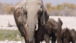 Destino de elefantes sobre la cuerda floja