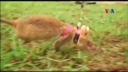 Chuột được huấn luyện để rà mìn ở Campuchia