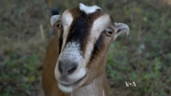 Cemetery Goats Used As Greener Weed Whackers