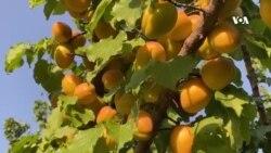 پرورش گونههای جدید زردآلو در افغانستان