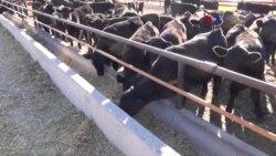 Antibióticos en el ganado