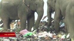 Voi tìm thức ăn tại bãi rác ở Sri Lanka