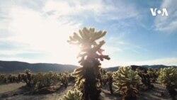 Kaktuslar bağı