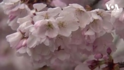 საკურას ყვავილობა დაცარიელებულ ვაშინგტონში