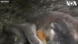 Chat de Crimée adopte quatre bébés écureuils