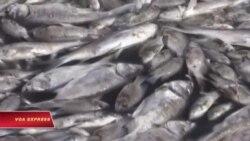 Cá chết ở Hồ Tây: Hồi chuông cảnh báo cho Việt Nam