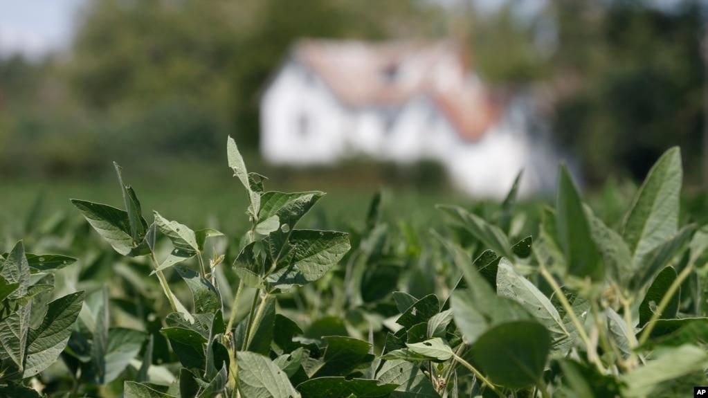 美国维吉尼亚州的大豆种植地。