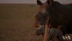 《最后的生灵》揭示犀牛大象灭绝的险境