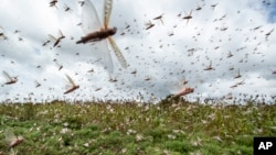 Swarms of desert locusts fly up into the air from crops in Katitika village, Kitui county, Kenya Friday, Jan. 24, 2020. Desert locusts have swarmed into Kenya by the hundreds of millions from Somalia and Ethiopia, countries that haven't seen such…