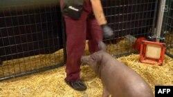 За словами Маска, свині на фото імплантовано пристрій Neuralink