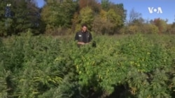 美国农民欢迎火麻商业种植合法化