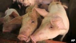 Demam babi Afrika menyebabkan dimusnahkannya jutaan babi di China dan beberapa negara lainnya (foto: ilustrasi).