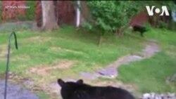 Նյու Ջերզիում մի շուն պաշտպանել է իր տունը` վախեցնելով սև արջին
