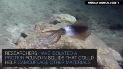 Squid Offers Possibility of Virtually Vanishing
