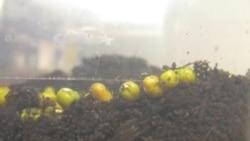 Germination d'un mung bean