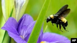 A bee takes off from a flower Monday, April 20, 2020, at Sheldon Lake State Park and Environmental Learning Center in Houston. Texas Gov. Greg Abbott has ordered state parks to reopen Monday after being closed due to the COVID-19 outbreak. (AP Photo…