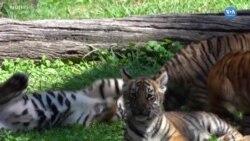 Yavru Bengal Kaplanları Ziyaretçileri Büyüledi