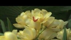 Washington: Izložba orhideja iz cijelog svijeta