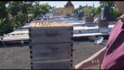 Зупинити вимирання одомашнених бджіл у США можна виставляючи вулики у великих містах. Відео