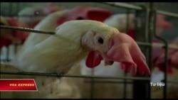 Châu Á cấm nhập khẩu gia cầm Mỹ vì cúm gà