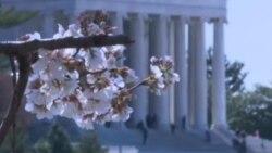 Расцветаа црешите во Вашингтон