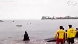 Peru an tử cá voi con mắc cạn