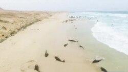 Des dauphins s'échouent mystérieusement sur une plage du Cap Vert