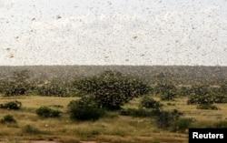 FILE - A swarm of desert locusts fly over a grazing land in Nakwamuru village, Samburu County, Kenya, Jan. 16, 2020.