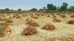 پاکستانی زراعت ماحولیاتی تبدیلیوں کا شکار