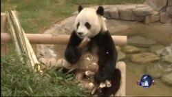 朝鲜半岛紧张 中韩熊猫外交