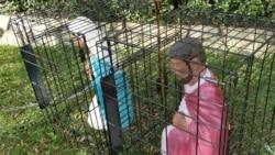 Pesebres en jaulas en Iglesias en California