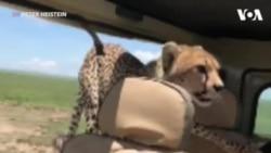 چیتا گاڑی کے اندر گھس آیا