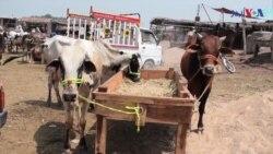 ہوشیار: قربانی کے جانور کانگو وائرس کا سبب بن سکتے ہیں