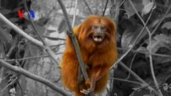 Brazilian Success Story with Reintroduction of Golden Lion Tamarins