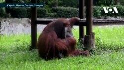 Sigara İçen Orangutan Tartışma Yarattı