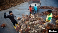 FILE - Workers collect palm oil fruits inside a palm oil factory in Salak Tinggi, outside Kuala Lumpur, Aug. 4, 2014.