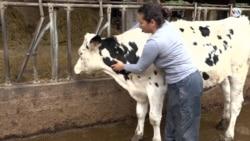 Ordeñando vacas, esta venezolana se ganó el cariño y el respeto en España
