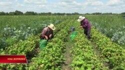 Nông dân H'mông: Trụ cột của nền kinh tế thực phẩm Minnesota