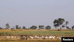 Herders graze a field with their livestocks on the outskirt of Zaria in Nigeria's northern state of Kaduna November 15, 2016. REUTERS/Akintunde Akinleye