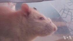 转基因幼虫可能取代实验室动物
