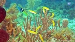Cinsiyet Değiştiren Balık Görüntülendi