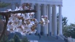 Цут на црешовите дрвја во Вашингтон