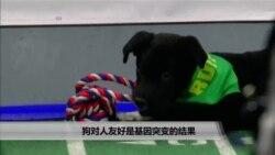 美国万花筒:狗对人友好是基因突变的结果
