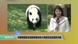VOA连线: 华盛顿国家动物园明星动物大熊猫宝宝启程回中国