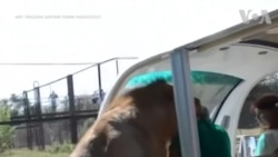 Sư tử leo lên xe 'giao lưu' với du khách