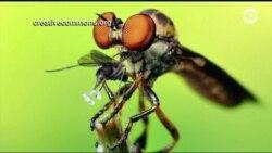 Уникальные возможности мухи-разбойницы
