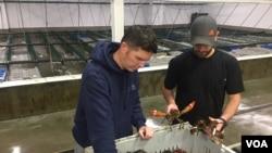 缅因海岸公司的员工在缅因州约克市的工厂检查龙虾。